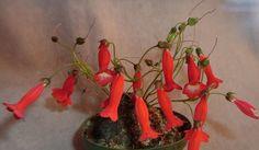 Sinningia helioana Glass Pavilion, Small Leaf, Garden Show, Seed Pods, Conservatory, Botanical Gardens, Planting Flowers, Gardening, Plants