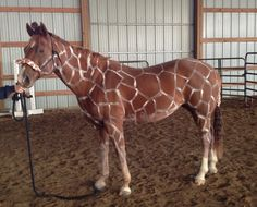 Check out some great horse costume ideas, and try out a tasty horse treat to serve on Halloween: americashorsedaily.com/happy-halloween.