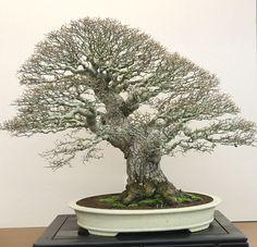 6P4A5520.jpg #bonsai
