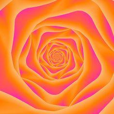 Orange And Pink Spiral Rose