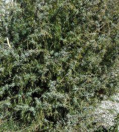 Este árbol de hojas espinosas que veis aquí es un enebro. De hecho, es el enebro que tenemos delante de la entrada de nuestra fábrica, y es un árbol protegido en la sierra madrileña. Usamos su aceite esencial en productos como Nube, Do it clean, Zero o Juniper. Nos habría gustado enseñaros sus bayas, ya que es de donde sale el aceite esencial que utilizamos, pero no estamos en época. Más adelante será.  #baracosmetics #cosmeticanatural #naturalcosmetics #cosmetica #natural #crueltyfree