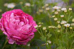 paul neyron rose from robertmealing.com