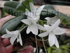 Aerangis fastuosa - powerful spicy scented orchid
