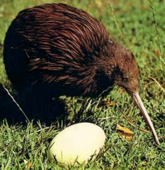 See in New Zealand a Kiwi is a flightless, nocturnal bird that is our national bird and some species are on the endangered list.