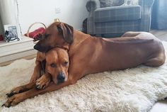 Odin toiling to keep his eyes opened. Rodisian Ridgeback, Boxer Mix Puppies, Pet 5, Hunting Dogs, Mountain Dogs, Funny Animal Pictures, Beautiful Dogs, Large Dogs, Mans Best Friend