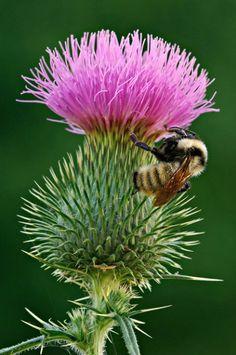 Bee on Bull Thistle | Dean A Pennala