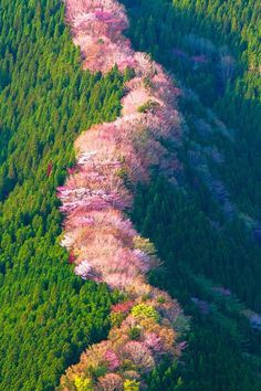 Beauty Of NatuRe: Wild cherry trees in Nara, Japan