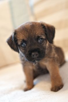 Baxter the border terrier at 8 weeks