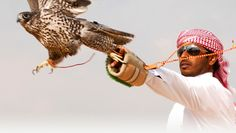an examination of falconry in the uae Discover falcon tour in abu dhabi and get to see the regal and precious falcon, which is an integral part of the emirati culture  such as examination room where.