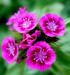 Types of Exotic Flowers | Types Of Sweet William Flowers