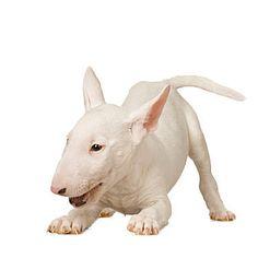 Englisch Bullterrier I want! Target dog