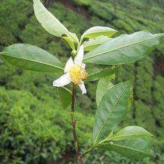 ¿Sabías que... el té se obtiene de una sola planta?  De la Camelia sinensis se consiguen tres tipos de tés: negro, verde y oolong; todo depende de cómo procesar la hoja. #curiosidades