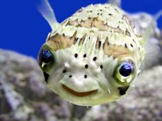 Mr. Puffer Fish from imageshack.us