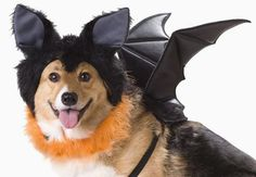 Bat Dog Costume       Check this out>>>>>>>   http://amzn.to/2c57n6c