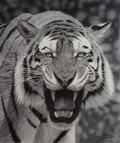 Tiger growling in Pencil by StephenAinsworth on deviantART