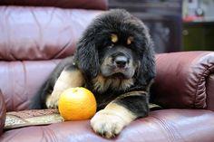 Tibetan Mastiff Puppie