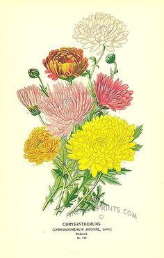 vintage chrysanthemum print - Yahoo Image Search Results
