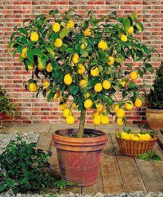 40 rare Lemon Tree Seeds High survival Rate Fruit Seeds For Home Gatden balcony Bonsai plant pot for home garden