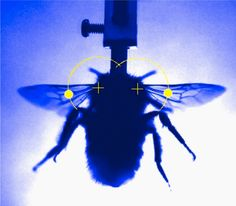To stay aloft, insects have to beat their wings very fast — up to 500 times a second in the case of mosquitoes. Exactly how they do this has long been debated. By capturing the molecular details of wing beats in live bumblebees, a study now argues that insect flight muscles do not work through a specialized mechanism but exploit properties shared with vertebrate muscles. http://www.nature.com/news/flight-of-the-bumblebee-decoded-1.13587?WT.mc_id=PIN_NatureNews CREDIT: SCIENCE/AAAS