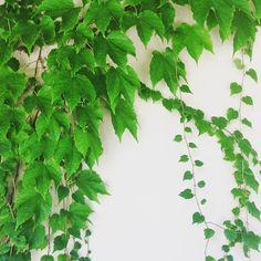 L'eleganza e la pervicacia. my shot  #nature #natura #natural #giardino #garden #edera #piante #green #verde #instafun #instacolor #instagreen #igers #igerslivorno #igerstoscana