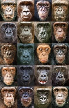 Collection of Chimpanzees & Gorillas face chart