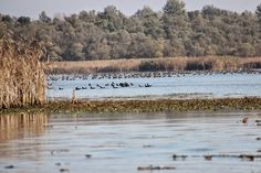 Tisza tavi madár telep, létszámuk elérheti a tizenöt-húszezer darabot, www.tavitura.hu.