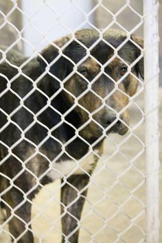 Rotti/sheph mix male 5-7 years old.  Kennel A6  Available 3-6-2014 Located at Odessa, TX Animal Control This poor guy just needs a chance and someone to show him some kindness! FOSTERS OR ADOPTERS WELCOME! https://www.facebook.com/speakingupforthosewhocant/photos/a.573572332667009.1073741829.248355401855372/737456582945249/?type=1&theater