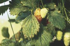 araña roja fresas