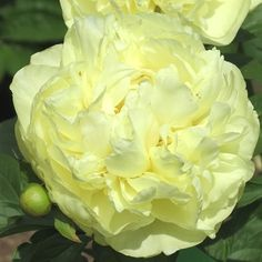 Lemon Chiffon Peony, fragrant, Flowers readily on young plants. Yellow Flowers, Beautiful Flowers, Exotic Flowers, Peonies Garden, Flowers Garden, Herbaceous Perennials, Tropical Garden, Flower Fashion, Flower Bouquet Wedding