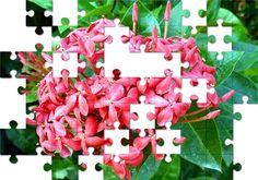 Free Jigsaw Puzzle Online - Plumeria Rubra