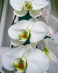 Phalaénopsis blanc