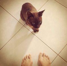 kiiko #cat#burmese
