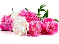 Pivoine : une fleur aux pétales remarquablement volumineux, possède de multiples significations dans le langage des fleurs. La pivoine simple symbolise la honte ou le remords, tandis que la pivoine double représentant un amour éclatant. La pivoine rouge exprimera la protection en amour. La pivoine blanche vous invite à un bon rétablissement. La pivoine rose exprimera un amour timide ou un sentiment de modestie. Les gens superstitieux mettent un bouquet de pivoines dans leur maison pour…