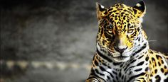 panther - Google Search
