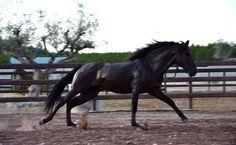 Kazan GT Andalusian Horse, Black Horses, Horse World, Beautiful Creatures, Most Beautiful, Spanish, Animals, Animales, Animaux