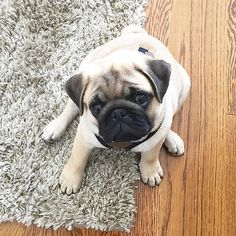 Weekend, is that you? #pugs #pug #puppy #puppies #pugsnotdrugs #cute #dog #cupcakepugs #pugsofIG #thetomcoteshow #pugloversclub #pugbasement #qtpugs #worldofpug #babypuggies #frankthepughero #mopsi #pugnation #pugloversofinsta #mops #hoboken #nj #borislovesfriends #pupperpic #radhound #qtpugs #pugpuppy #pugnation #puglove