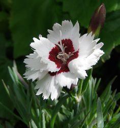 Alpine Pink 'Brilliant Star' (Dianthus alpinus)