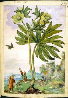 Helleboris viridis, from De Materia Medica