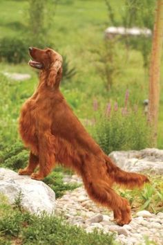 Irish setter==so pretty
