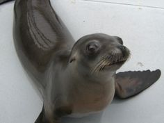 Sea lion is first non-human mammal able to maintain a beat to music