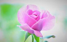 Download wallpapers pink rose, rose bud, beautiful pink flower, floral background, rose