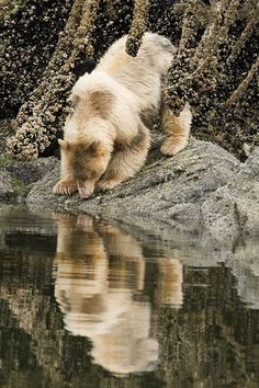 The Kermode Bear (Ursus americanus kermodei is one of the rarest bears in the world. It is a black bear that has a white/creamy fur, which is produced by a recessive gene. He lives principally in the central and north coast of British Columbia in Canada.Great Bear Rainforest, British Columbia, Canada