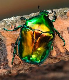 Bilderesultat for scarab beetle Beetle Insect, Beetle Bug, Cool Insects, Bugs And Insects, Mantis Religiosa, Green Beetle, Japanese Beetles, Cool Bugs, Carapace