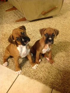 Boxer Puppies :) I love their mushy confused faces Boxer Puppies, Cute Puppies, Cute Dogs, Dogs And Puppies, Doggies, Boxer And Baby, Boxer Love, Labrador Golden, Baby Animals
