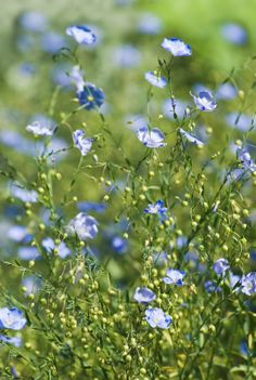 Flax plants. We use this plant for making clothes, the fabric called linnen is made from this plant. The seed of the flax plant is also very high in nutrition! It contains an essential fatty acid, omega 3
