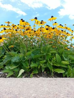 Black eyed Susans are the best!