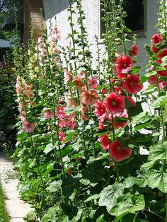 Hollyhocks - a must have