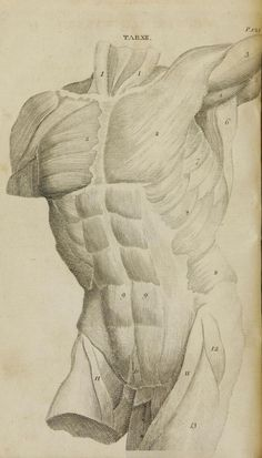 "Grabado de los músculos del torso de William Cheselden ""Anatomical tables of the human body"" (1796)"