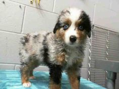 1 of 9 from same family #A470330 RELEASE DATE: 8/16  I am a male, blue merle and white Australian Shepherd. Shelter staff think I am about 9 weeks old. I have been at the shelter since Aug 02, 2014.   PETHARBOR: http://www.petharbor.com/pet.asp?uaid=SBCT.A470330...    : City of San Bernardino Animal Control-Shelter. https://www.facebook.com/photo.php?fbid=10203211840034398&set=a.10203202186593068&type=3&theater