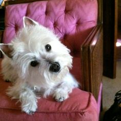 I don't know what it is about westies...but they melt my heart...and someday I will have another one....missin my Lizzygirl today.